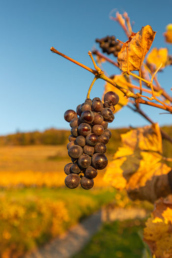 Close-up of grapes growing in vineyard against sky