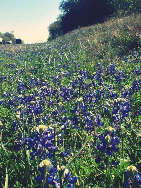 Flowers Wildflowers Texas Bluebonnet Filthyflora