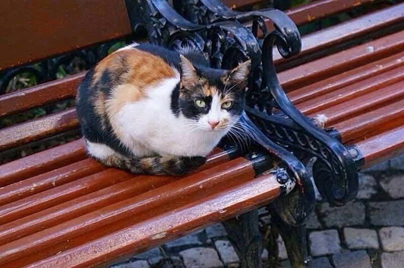 Cat in Istanbul Cat Istanbul Turkey Pet