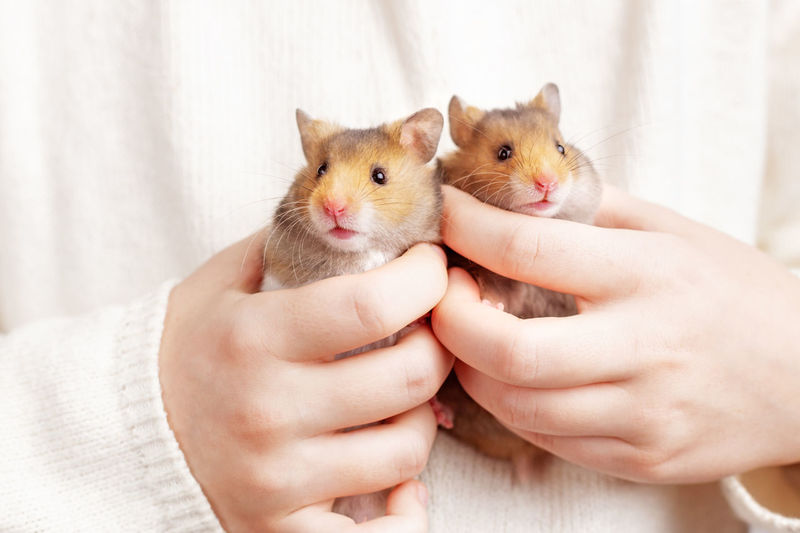 Two cute fluffy golden hamsters in the hands of a child on a light background. twins.
