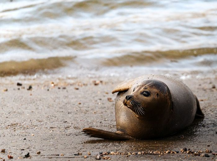High angle view of a harbour seal on a river slipway