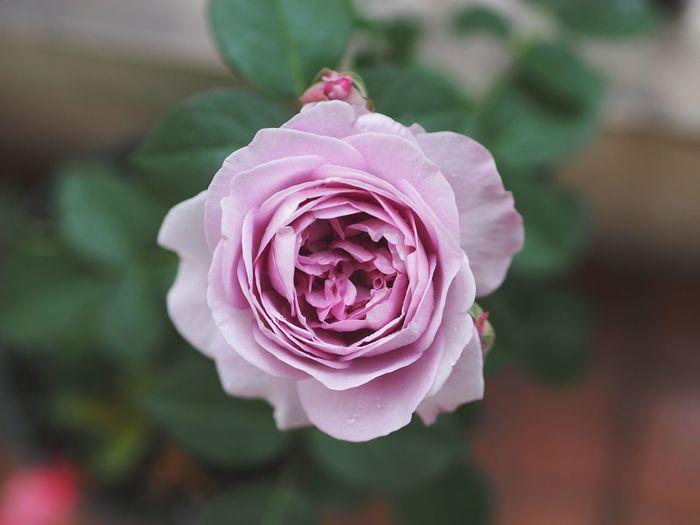 flower Rose - Flower Roses 紫色 京成玫瑰园 蓝色风暴 月季 Japan 2006 Shinoburedo しのぶれど Flower Purple Flower Chinese Rose Spring Flowers Blooming