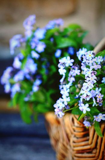 Basket of....... Basket Wicker Basket Flowerbasket Blue Color Lavender Colored Flower EyeEm Selects EyeEm Best Shots - Flowers Flower Selective Focus Plant Fragility Nature Bouquet Day Close-up Flower Head Beauty In Nature No People Outdoors Freshness EyeEm Ready   EyeEmNewHere Inner Power Visual Creativity Summer Exploratorium Adventures In The City