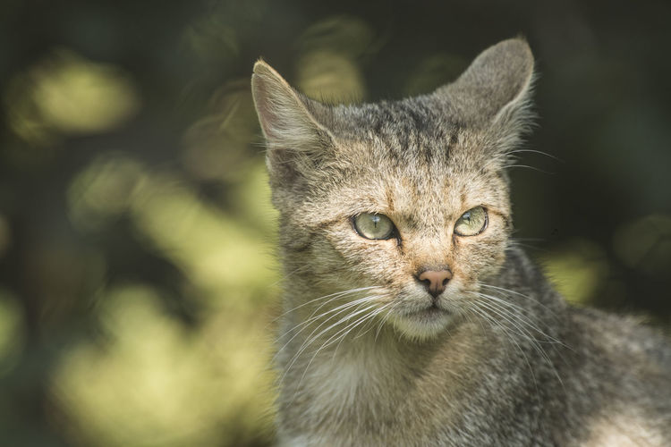 Portrait of a wild cat with forest on the background