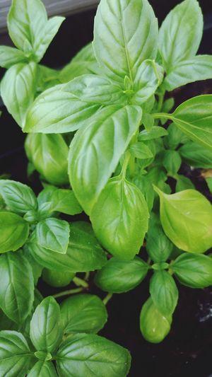 Herbal Medicine Leaf Herb Alternative Medicine Close-up Plant Green Color
