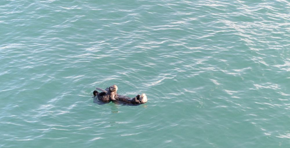 Open Ocean Mother And Baby Otter Sea Otter Copy Space Otter Water Animal Wildlife Animal Swimming Animal Themes Animals In The Wild High Angle View Sea Mammal Day No People Nature Waterfront Beauty In Nature Animal Family Bird Marine Outdoors