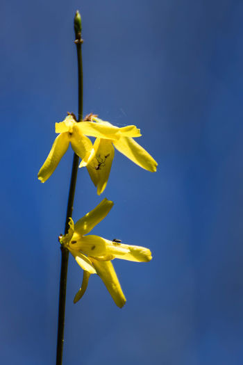 Forsythie Blumen Forsythie Naturfotografie Sträucher Beauty In Nature Blauer Himmel Blue Blue Background Clear Sky Close-up Day Focus On Foreground Freshness Gelb Hanging Low Angle View Natur Nature No People Outdoors Plant Sky Sunlight Yellow