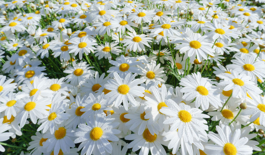 camomile oxeye daisy meadow background CamomileTea Daisy Oxeye Daisy Backgrounds Camomile Blooming Camomile Flower Camomile Meadow Camomiles Camomiles And Mint Flower Full Frame Nature Oxeye Oxeye Daisy Flower Plant Yellow