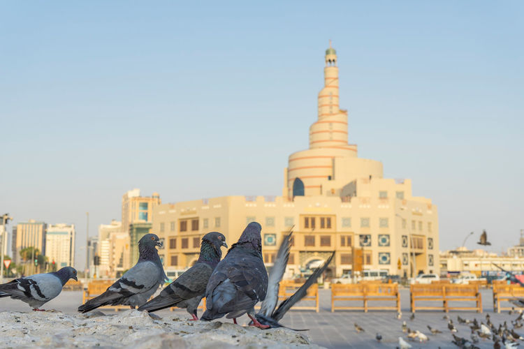 Pigeons perching against historic buildings in city