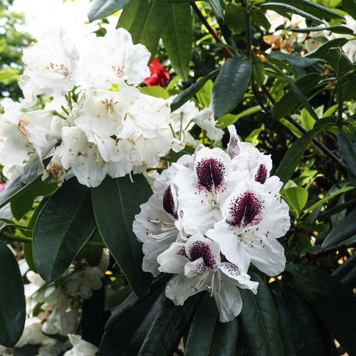 White flowers Azalea Beauty In Nature Blossom Cherry Blossom Close-up Flower Flower Head Flowering Plant Focus On Foreground Fragility Freshness Growth Inflorescence Leaf Nature No People Outdoors Petal Plant Plant Part Pollen Springtime Tree Vulnerability  White Color