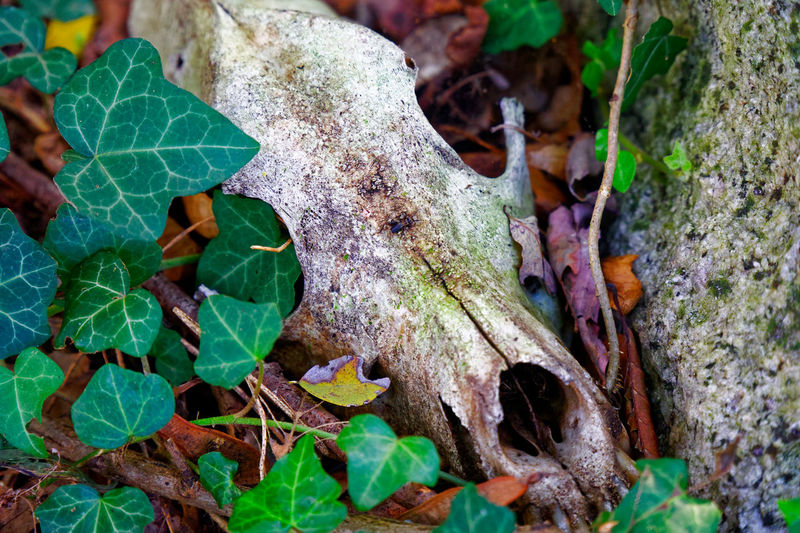 Scull of animal Nature Nature_collection Freshness Beauty In Nature Scull Animal Scull Forest Wood Leaf Plant Part Plant Growth Green Color No People Day Close-up Land Tree High Angle View Outdoors Dry Field Focus On Foreground Food Selective Focus Clover Leaves