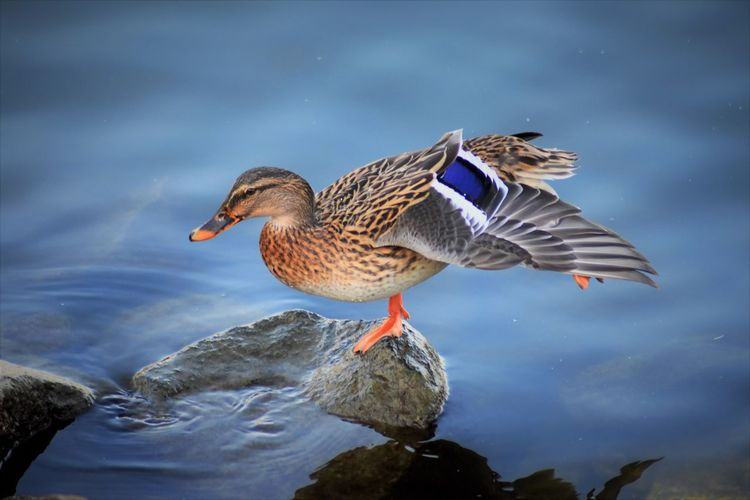 Black Duck Eyelovephotography Yoga Pose Yoga Time Animal Themes Animal Wildlife Animals In The Wild Beauty In Nature Bird Close-up Cutenessoverload Day Duck Eyeloveanimals Nature No People One Animal Outdoors Rhine River Water Water Bird Waterfront