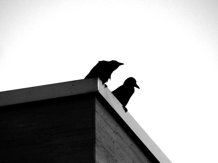 Animal Themes Animal Wildlife Architecture Bird Birds Built Structure Clear Sky Copy Space Crow Day Low Angle View Modern Architecture Nature No People Outdoors Perching Raven - Bird Sky Two Birds