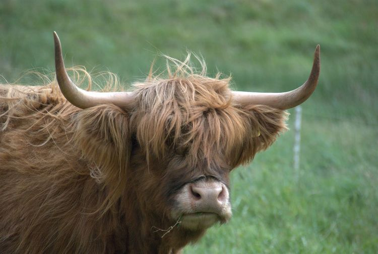 Close-up of highland cow on grassy field