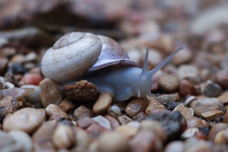 Detail shot of snail on pebbles
