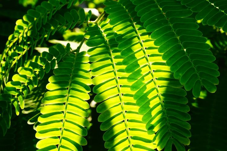 Green Color Leaf Plant Part Growth Plant Close-up Nature Focus On Foreground Day Fern Beauty In Nature Natural Pattern Outdoors Sunlight Leaves Selective Focus Pattern Freshness