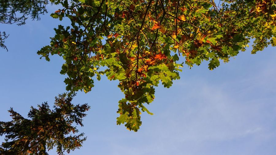 Autumn Plant Tree Growth Low Angle View Beauty In Nature Plant Part Sky Leaf Branch Nature Tranquility No People Day Outdoors Green Color Scenics - Nature Sunlight Tranquil Scene Clear Sky Directly Below