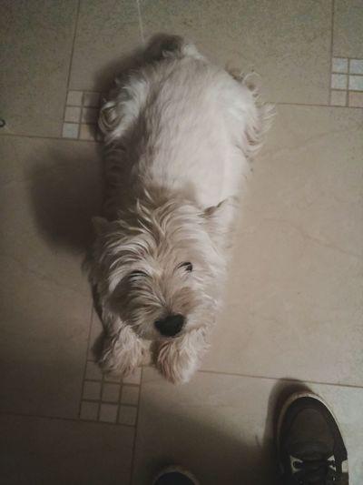 Dog Cute Sottishterrier White Poland Pikulice
