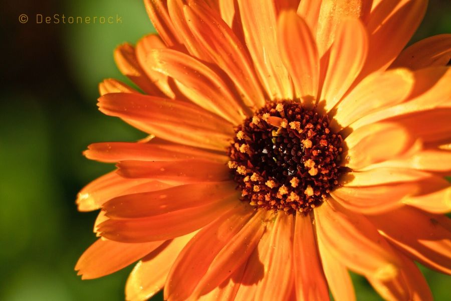 Flowers Flower Nature Photography Nature_collection Nature Photography Camera Practice Taking Photos Walking Around Orange Testing Camera Colorful Macro Photography