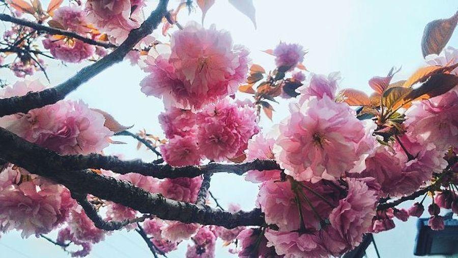 🌸 Sakura Kanazawacastle Spring Zenpad Instaphoto Nippon Phdiary Phcorner Picoftheday