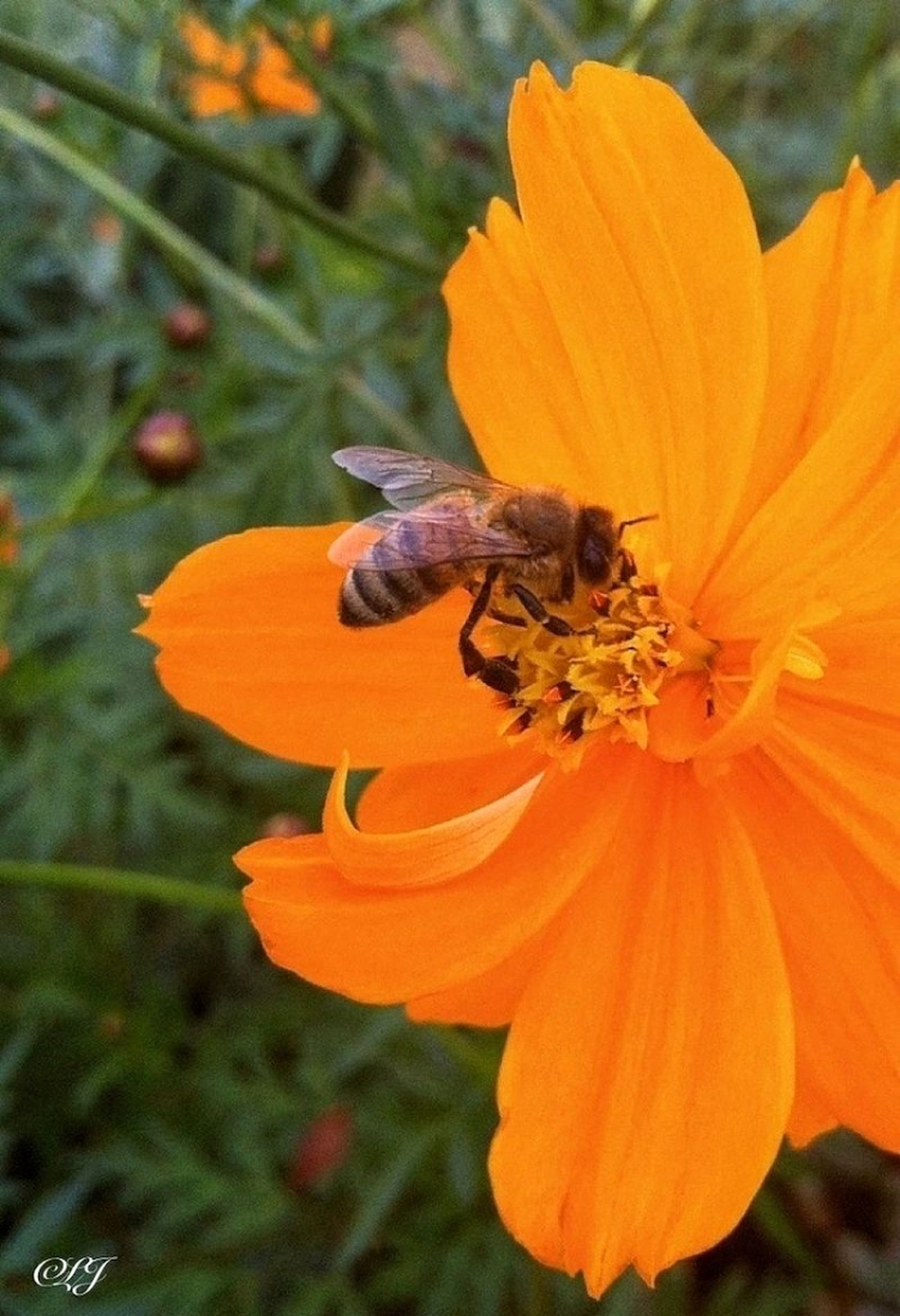 flower, animal themes, one animal, petal, orange color, fragility, insect, animals in the wild, wildlife, flower head, focus on foreground, freshness, beauty in nature, pollination, close-up, nature, yellow, growth, plant, blooming