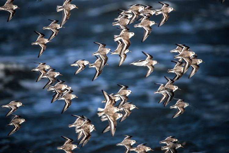 Sanderling in
