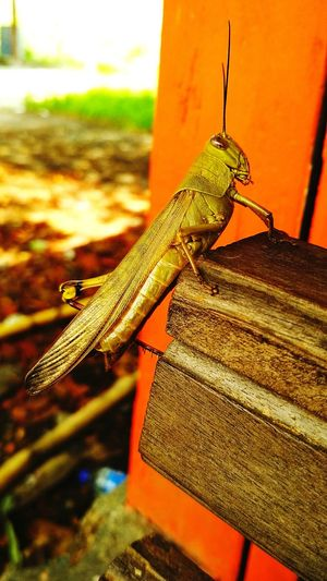 grasshoppers look at camera phone Grasshopper Looking At Camera Smartphonephotography Animal Chair Outdoors Outdoor Photography PhonePhotography Photo Animal Locust Grig Animal Brown Color Reptile One Animal Animals In The Wild Lizard Close-up Animal Themes Animal Wildlife No People Nature Day