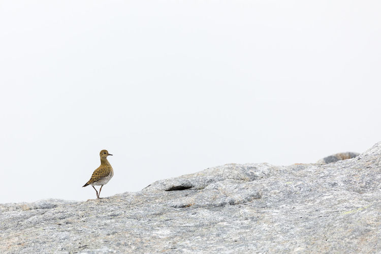Bird Perching On Rock Against Clear Sky