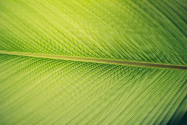 Banana leaf is the background and texture. Banana Green Background Backgrounds Close-up Green Color Leaf Leaf Vein Leaves Nature Palm Leaf Palm Tree Plant Plant Part Textured  Wallpaper