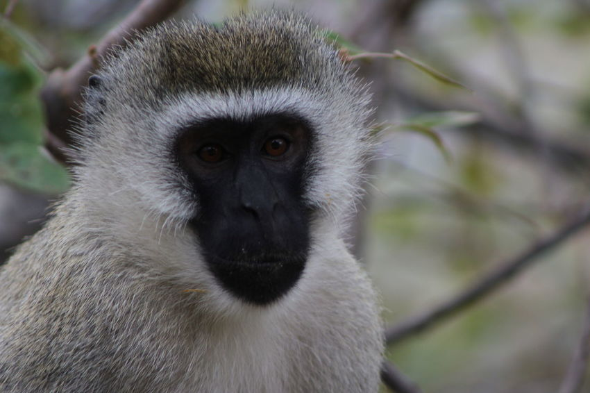 Africa Animal Animal Eyes Animals In The Wild Beak Bird Close-up Day Focus On Foreground Forest Front View Looking Looking At Camera Monkey Monkey Eyes Monkey Face Nature Nature One Animal Outdoors Tanzania Velvet Monkey Vervet Monkey Wildlife Zoology