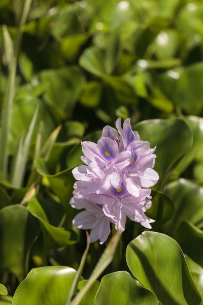 Light purple flowers of common water hyacinth Eichhornia crassipes on a pond in Southern California in summer. Beauty In Nature Close-up Day Eichhornia Crassipes Flower Flower Head Fragility Freshness Growth Nature No People Outdoors Petal Plant Purple Purple Flower Water Hyacinth Bloom