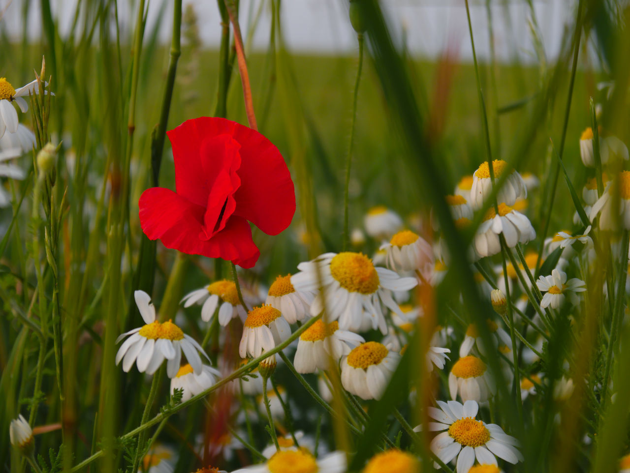 Daisies And Poppy Blooming On Field