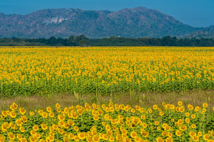 Field Flowers Beauty In Nature Blue Landscape Mountain Yellow Flower Thailand
