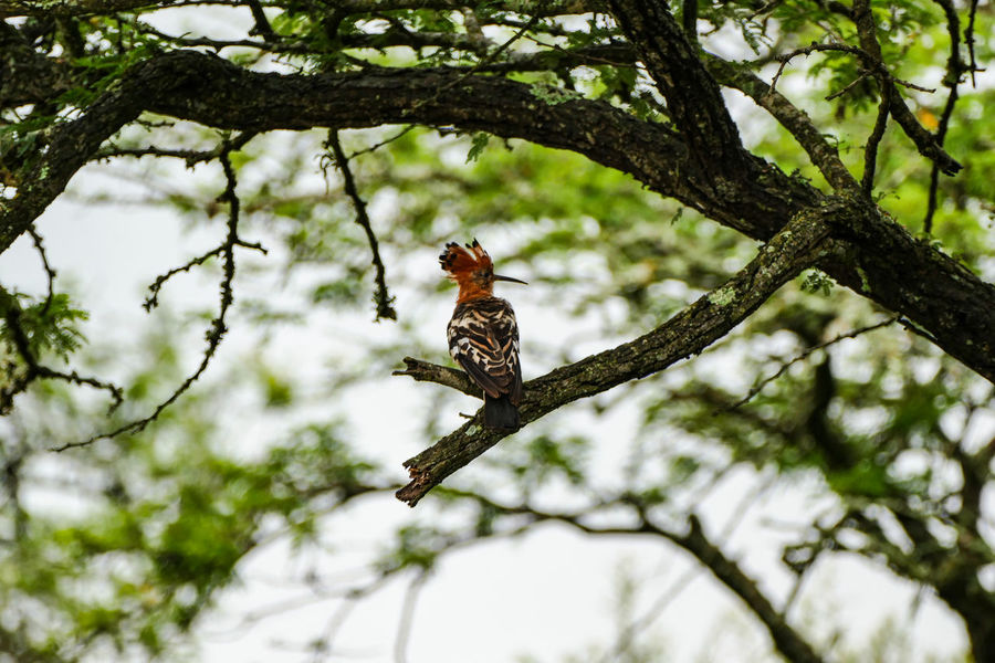 Animal Animal Themes Animal Wildlife Animals In The Wild Beauty In Nature Bird Branch Day Hoopoe Low Angle View Mammal Nature Nature Reserve No People One Animal Outdoors Perching Tree