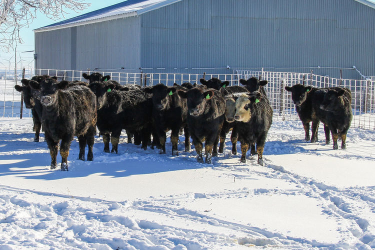 Agriculture Black Angus Cattle Yard Farm Animal Black Canon60d Canonphotography Cattle Cattle Shed Domestic Animals Feeder Cattle Fence Group Of Animals Heifer Herd Livestock Outdoors Snow Steer Winter