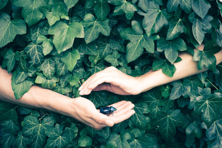 Hands holding insect amidst ivy