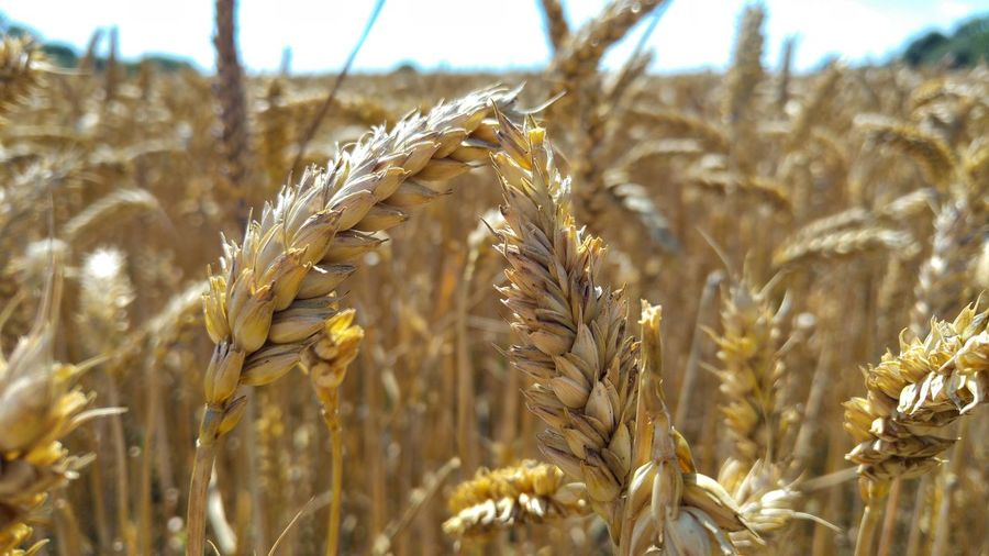 Close-up of wheat crop growing on farm