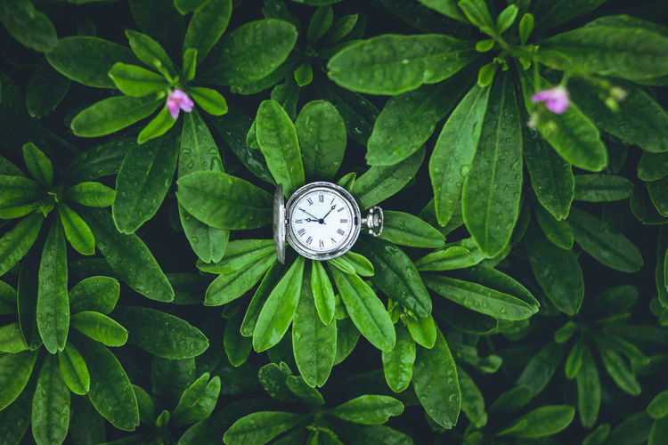 Green Leaves background In the rainy season,time Old silver pocket Alarm Clock Beauty In Nature Clock Clock Face Close-up Day Green Color Growth High Angle View Instrument Of Time Leaf Minute Hand Nature No People Number Outdoors Plant Plant Part Pocket Watch Time Watch Wristwatch