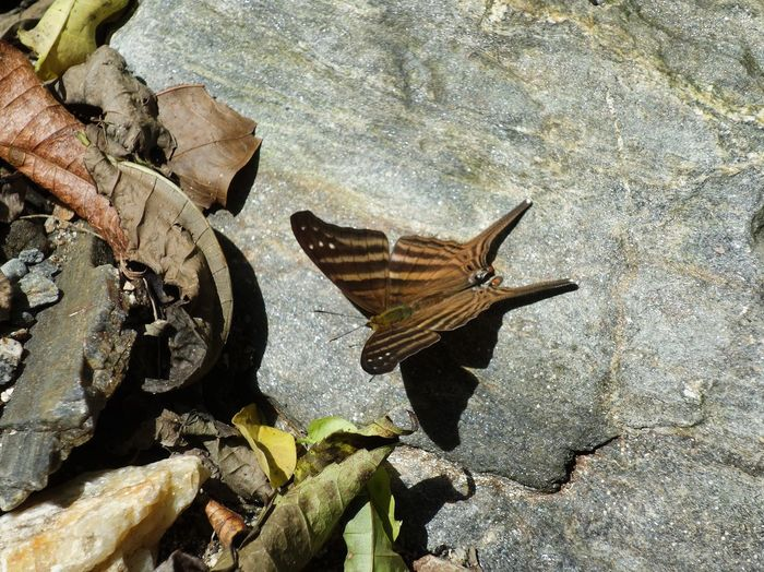 Tropical butterfly Butterfly Fauna Rain Forest Colombia Tayrona Natural Park Tropical Exotic Rock Resting Sunbathing Animals In The Wild Animal Themes One Animal Insect Nature High Angle View Day Outdoors No People Animal Wildlife Spread Wings Fragility Close-up Beauty In Nature Leaf