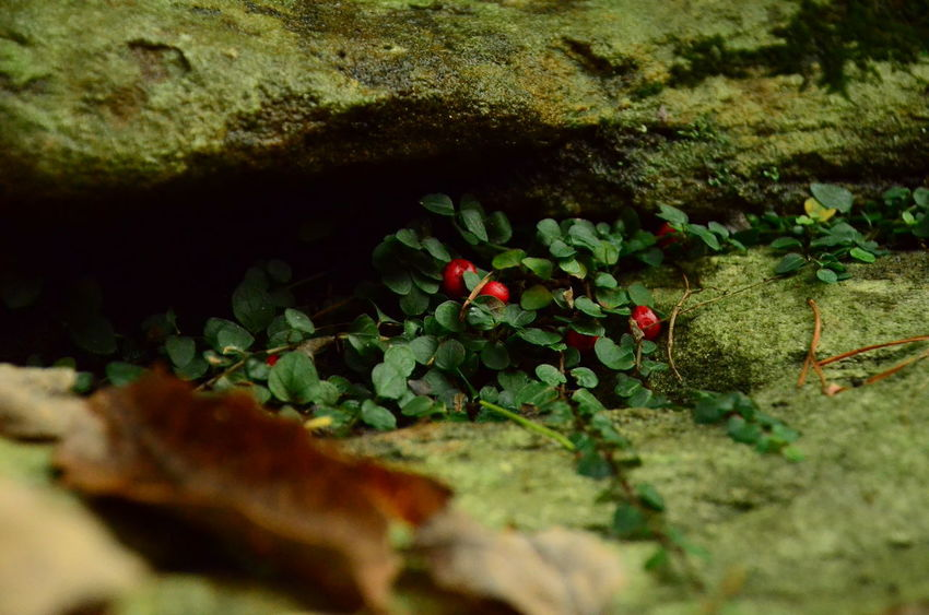 Plant Growth Beauty In Nature Selective Focus No People Nature Close-up Flower Day Plant Part Green Color Flowering Plant Freshness Leaf Red Outdoors Rock Vulnerability  Solid Fragility