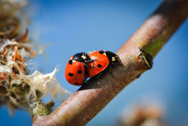 Close-up of ladybugs mating on plant stem against blue sky