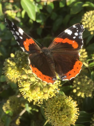 Insect Animals In The Wild Butterfly - Insect Animal Themes One Animal Nature No People Butterfly Fragility Beauty In Nature Growth Flower Outdoors Day Plant Focus On Foreground Freshness Animal Wildlife Close-up Pollination Red Admiral Red Admiral Butterfly Vanessa Atalanta Ivy