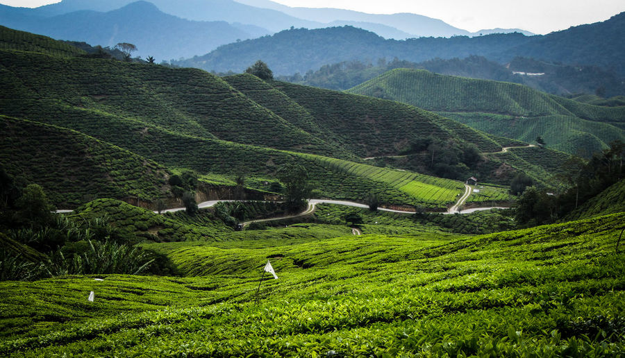 Scenic View Of Tea Plantation On Mountains