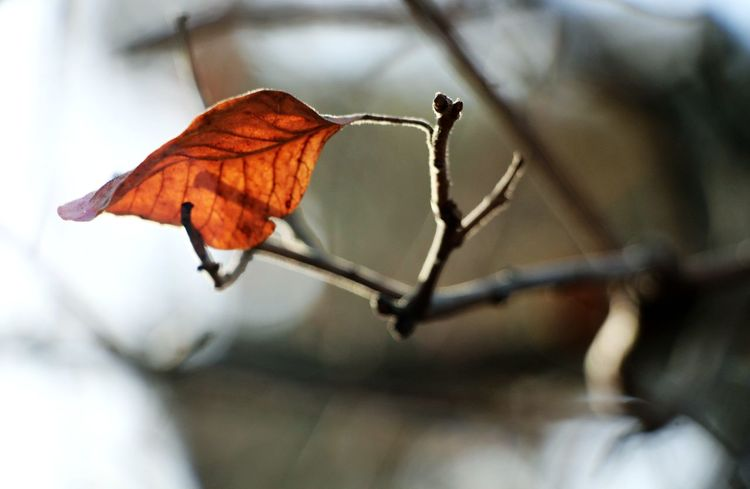 Atmosphere Autumn Autumn Leaves Red Red Leaves Tranquility A Moment In Time A Moment Of Zen... Autumn Beauty In Nature Change Close-up Cold Temperature Dry Focus On Foreground Fragility Leaf Maple Nature No People Oriental Oriental Style Zen AI Now