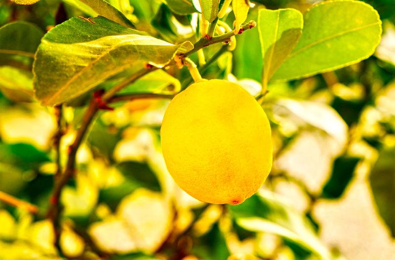 Close-up of lemon on lemon tree