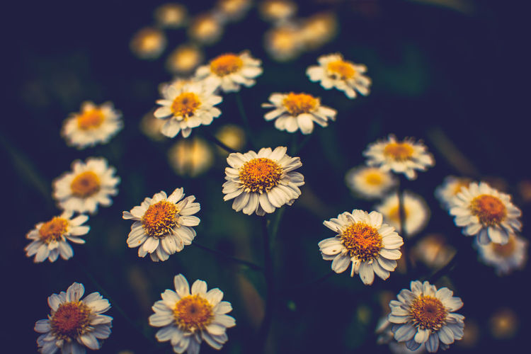 Dark daisies! Flower Nature Outdoors Exploring Landscape Nikon Creative Photography Check This Out Close-up Kent Photooftheday Blooming Details Taking Photos Faversham Selective Focus Macro Lomography EyeEm Nature Lover Enjoying Life Good Morning! Hello World Daisy