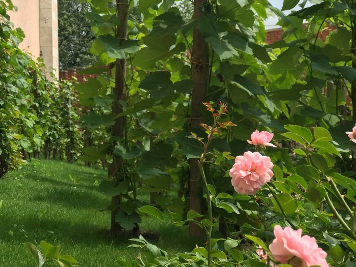 Cracovia  Cracow Plant Flowering Plant Flower Growth Beauty In Nature Pink Color Freshness