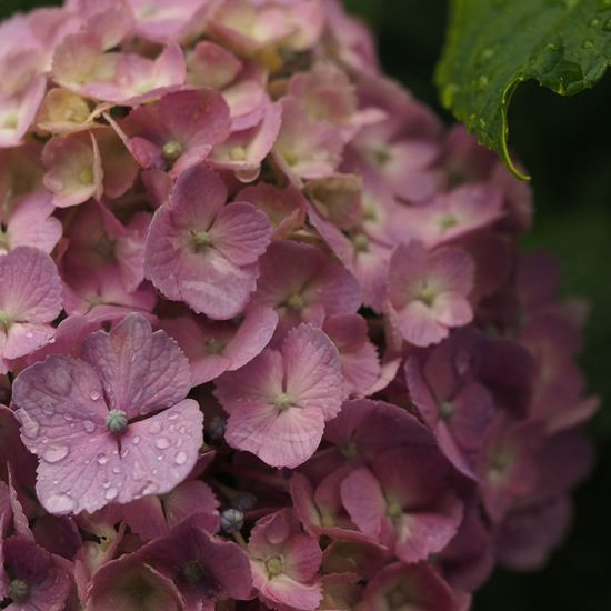 Purple Flower Nature Beauty In Nature Flower Head Growth No People Macro Macro Photography EyeEm Nature Lover Taking Pictures Taking Photos Olympus Flowerstagram Flowerporn Flowers Growth Beauty In Nature Nature Hydrangea In Bloom Raindrops Rainy Days Good Morning
