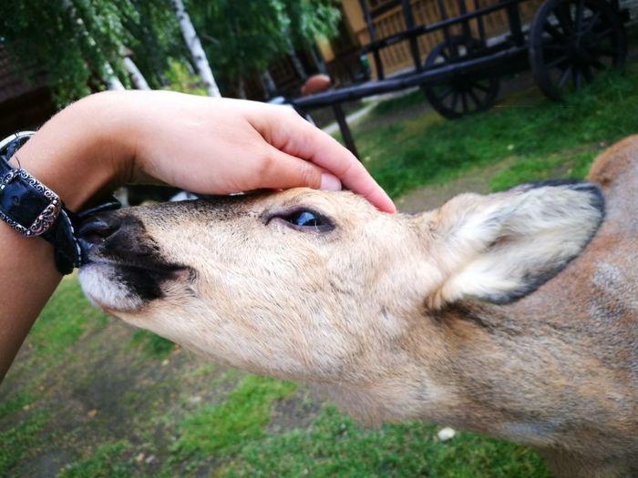 Domestic Animals One Animal Animal Themes Pets Young Roe Deer Animal Head  Human Hand Human Body Part