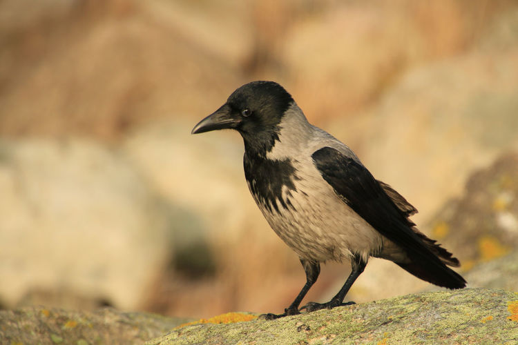 Animal Themes Animals In The Wild Avian Beak Beauty In Nature Bird Crow Cunning Day Focus On Foreground Humorous Nature No People One Animal Perching Tranquility Wildlife Zoology